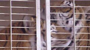 Die Stunden vor … dem Sprung des Tigers beim Zirkus Probst