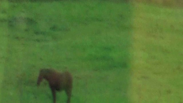 Swedish Horse Daydream